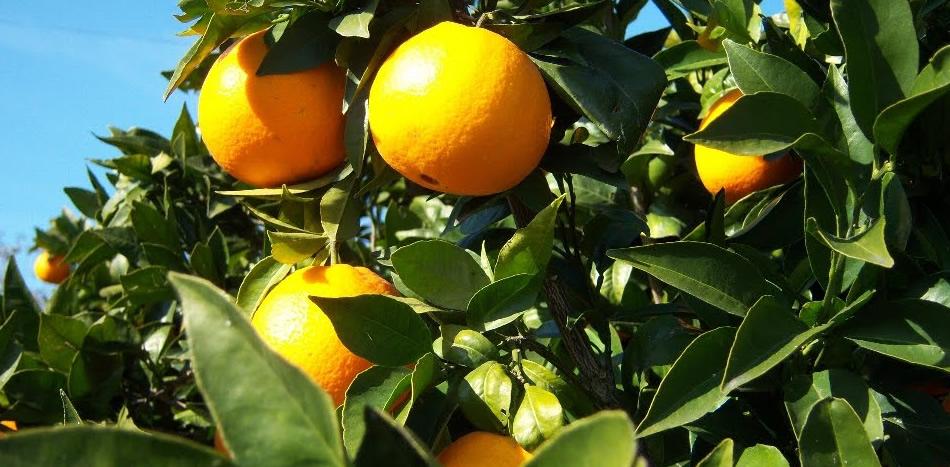 Viveros costa verde venta de arboles frutales en elche for Viveros arboles frutales